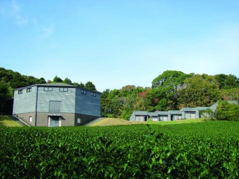 稽古場棟前の茶畑